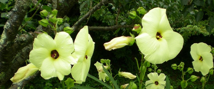 粘剤の原料トロロアオイの花